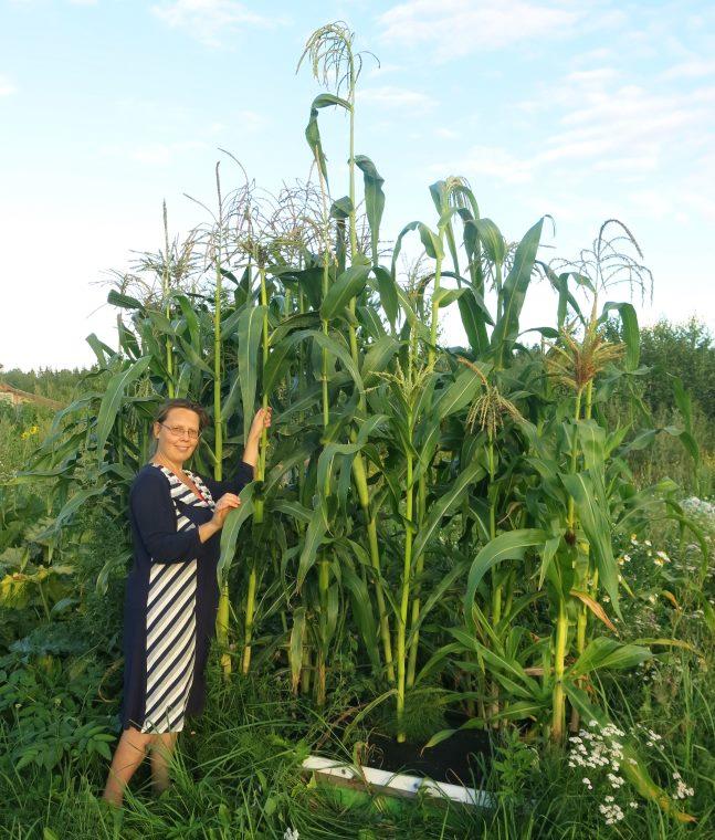拉扎列夫庄园在路特拉硅下的堆肥玉米